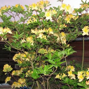 Rhododendron 'Lapwing'