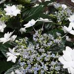 Hydrangea macrophylla 'Hanabi' - Hydrangea macrophylla 'Hanabi' - Hortensia