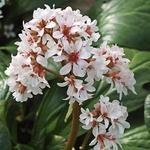 Bergenia 'Britten' - Bergenia 'Britten' - Schoenlappersplant