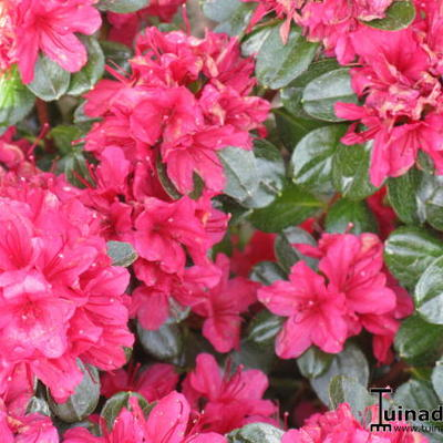 Rhododendron  'Thierry' -