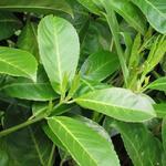 Prunus Laurocerasus 'Rotundifolia' - Laurierkers