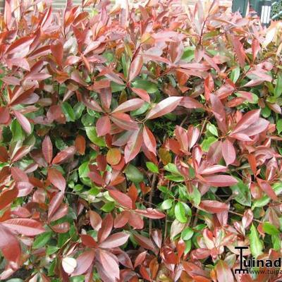 Glansmispel - Photinia x fraseri 'Red Robin'