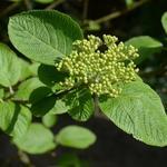Viburnum lantana - Wollige sneeuwbal - Viburnum lantana