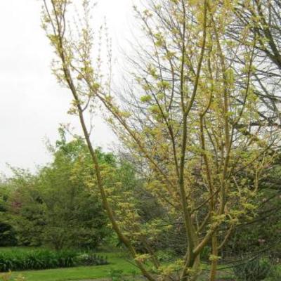 Acer rufinerve 'Erythrocladum' -