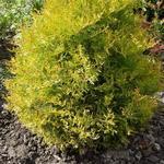 Thuja occidentalis 'Rheingold' - Westerse Levensboom - Thuja occidentalis 'Rheingold'