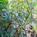 Cyphomandra corymbiflora - Cyphomandra corymbiflora - Boomtomaat, dwergboomtomaat