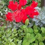 Tulipa gregii 'Rob Verlinden' -
