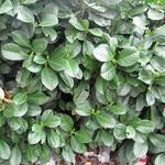 Prunus laurocerasus 'Etna' - Laurierkers