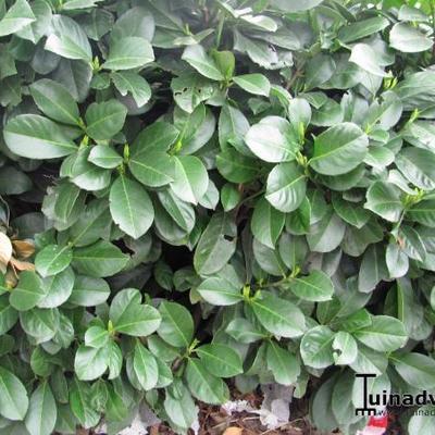 Prunus laurocerasus 'Etna' -