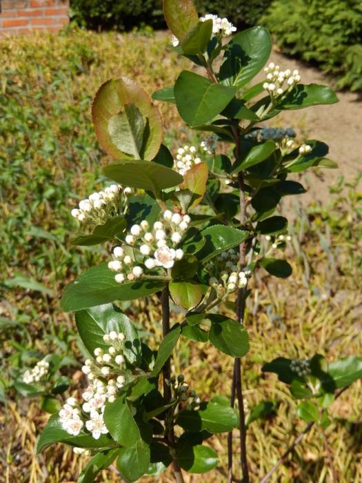 appelbes aronia x prunifolia 39 viking 39 planten online kopen. Black Bedroom Furniture Sets. Home Design Ideas