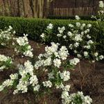 Exochorda racemosa 'Niagara - Parelstruik - Exochorda racemosa 'Niagara