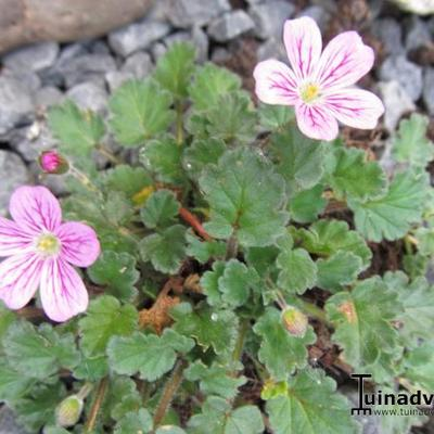 Erodium variabile 'Roseum' - Reigersbek