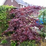 Acer palmatum 'Bloodgood' - Japanse esdoorn - Acer palmatum 'Bloodgood'
