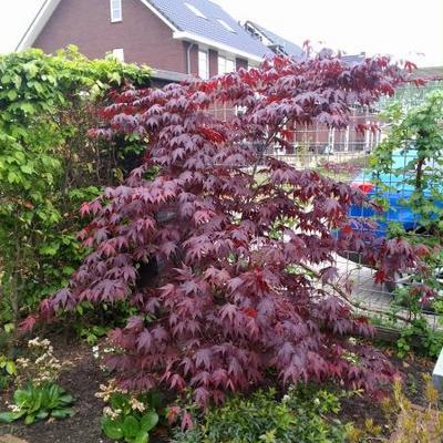 Acer palmatum 'Bloodgood' -