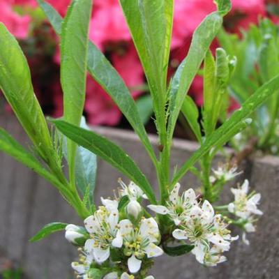 Prunus pumila var. depressa -