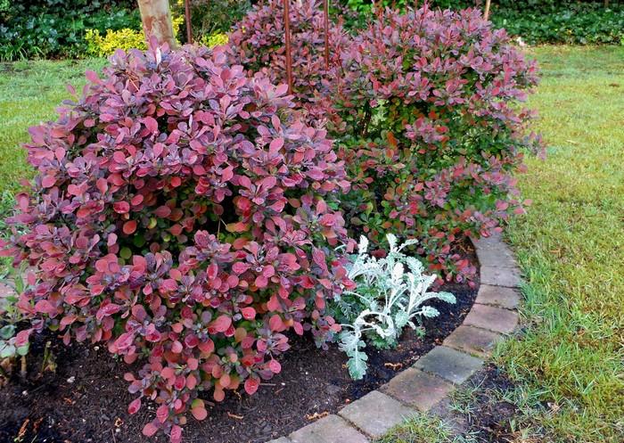 japanse zuurbes berberis thunbergii 39 atropurpurea nana 39 planten online kopen. Black Bedroom Furniture Sets. Home Design Ideas
