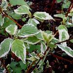 Cornus alba 'Sibirica Variegata' - Kornoelje, witbonte siberische kornoelje - Cornus alba 'Sibirica Variegata'