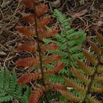 Dryopteris lepidopoda - Zonsondergangvaren - Dryopteris lepidopoda