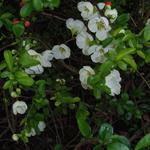 Chaenomeles  speciosa 'Nivalis' - Sierkwee - Chaenomeles  speciosa 'Nivalis'