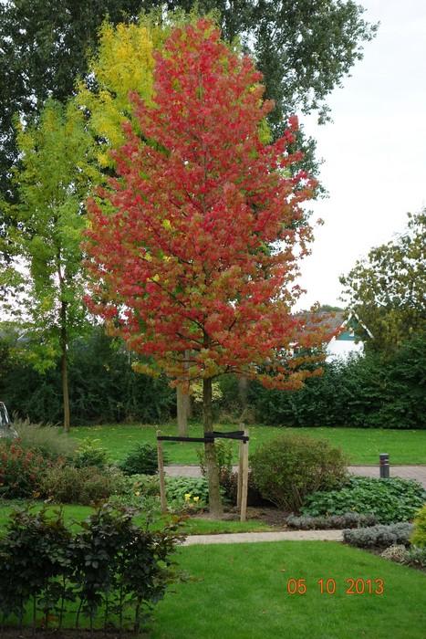 amberboom liquidambar styraciflua 39 worplesdon 39 planten. Black Bedroom Furniture Sets. Home Design Ideas