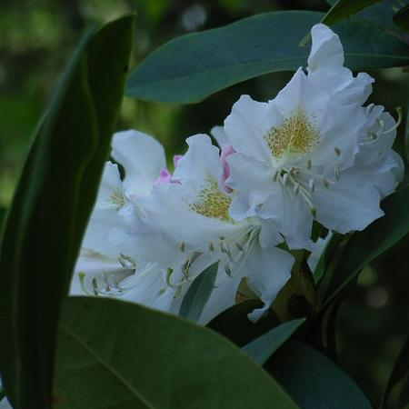 Rhododendron  'Mme Masson'