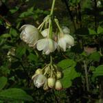 Staphylea pinnata - Staphylea pinnata - Geveerde pimpernoot, paternosterbollekesboom
