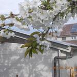 Prunus avium 'Dönissens Gelbe Knorpelkirsche'  - Kerselaar - Prunus avium 'Dönissens Gelbe Knorpelkirsche'