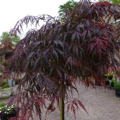 Acer palmatum 'Tamukeyama' -
