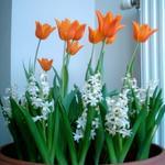 Tulipa 'Ballerina' - Tulp - Tulipa 'Ballerina'