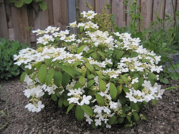 japanse sneeuwbal viburnum plicatum 39 watanabe 39 planten. Black Bedroom Furniture Sets. Home Design Ideas