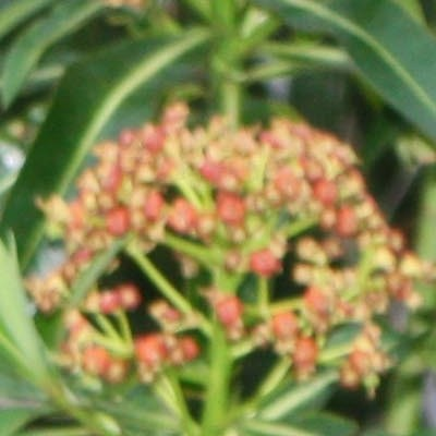 Euphorbia mellifera -