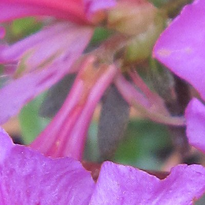 Rhododendron 'Lilac Time' -