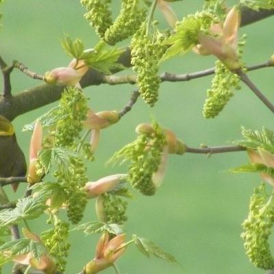 Acer pseudoplatanus -