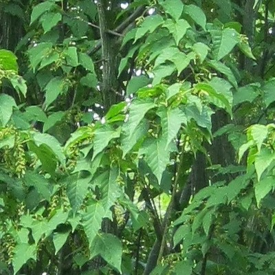 Acer davidii 'Purple Bark' -