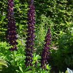 Lupinus polyphyllus 'Witchet'  - Lupine