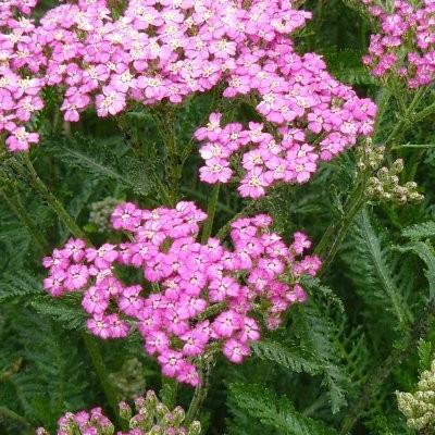 Achillea millefolium 'Pretty Belinda' -