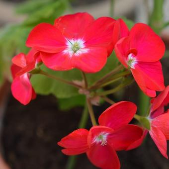 Pelargonium 'Winston Churchill'