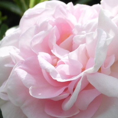 Rosa 'Great Maiden's Blush' -