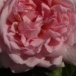 Rosa 'Eglantyne' - Roos - Rosa 'Eglantyne'