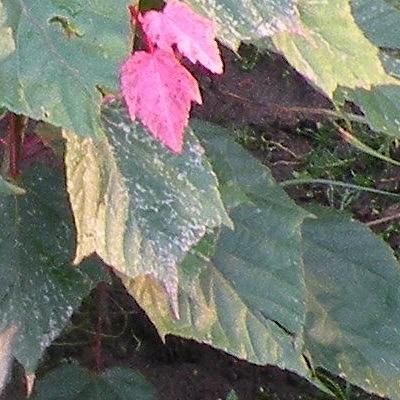 Acer conspicuum 'Red Flamingo' -