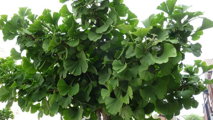 japanse notenboom japanse tempelboom ginkgo biloba 39 mariken 39 planten online kopen. Black Bedroom Furniture Sets. Home Design Ideas