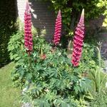 Lupinus 'Gallery Red' - Lupine