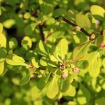Berberis thunbergii 'Tiny Gold' - Zuurbes - Berberis thunbergii 'Tiny Gold'