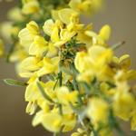 Cytisus scoparius 'Golden Sunlight' - Brem