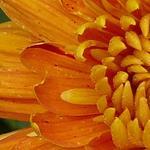 Chrysanthemum 'Dixter Orange' -