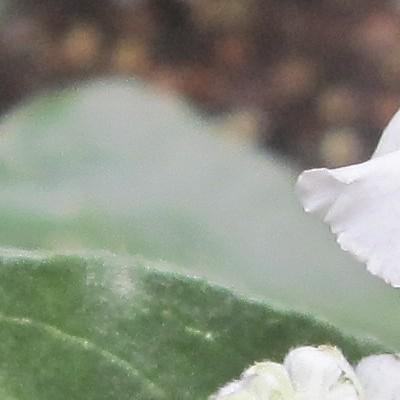 Salvia farinacea 'SALLYFUN Snow White' -