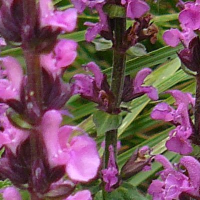 Salvia nemorosa 'New Dimension Rose' -