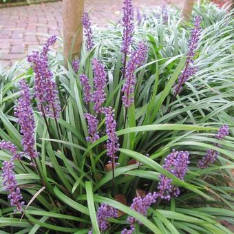 Leliegras Liriope Muscari Big Blue Planten Online Kopen