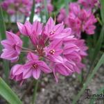 Allium oreophilum  - Allium oreophilum  - sierui