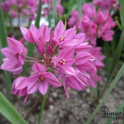 Allium oreophilum  -